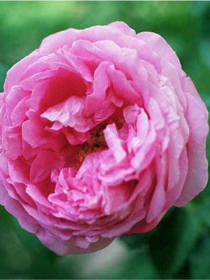 گلاب ممتاز