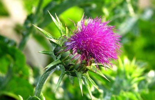 گیاهان دارویی برای چاقی