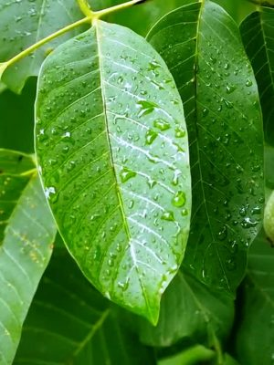 Walnut-leaf