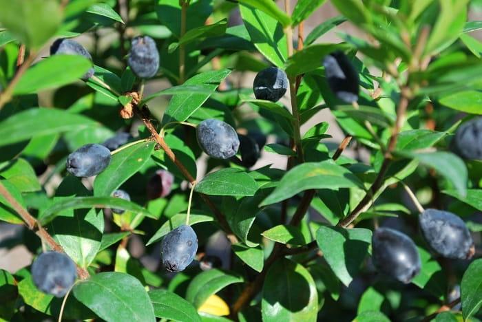 تصویر گیاه مورد